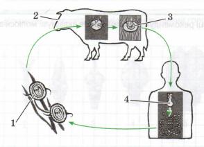 паразиты в яйцах человека