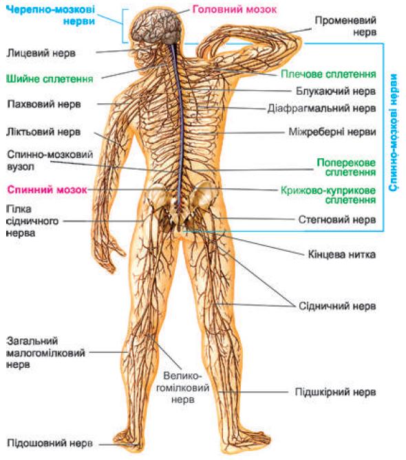 нервова система людини фото