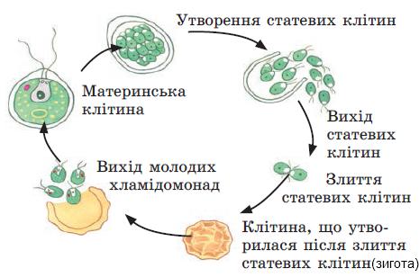 біологія видминни риси миж вольвокс и хламидомонада