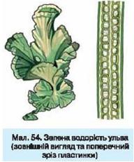 розповідь про водорость вольвокс