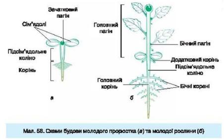 квіткової рослини?
